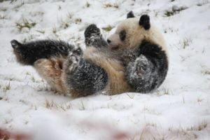 """จีนเตรียมเปิด """"อุทยานแห่งชาติแพนด้ายักษ์"""" ภายในสิ้นปีนี้"""