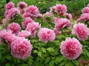 เทศกาลชมดอกโบตั๋นเขตเตี้ยนเจียงครั้งที่ 20 ดึงดูดนักท่องเที่ยวสู่แหล่งกำเนิดของดอกโบตั๋น